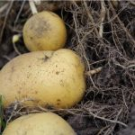 How To Grow and Harvest Potatoes